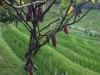 Eine Kakaopflanze