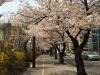 Kirschblüten in Yeouido