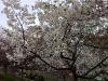 Trotz Kälte waren Kirschblüten zu sehen